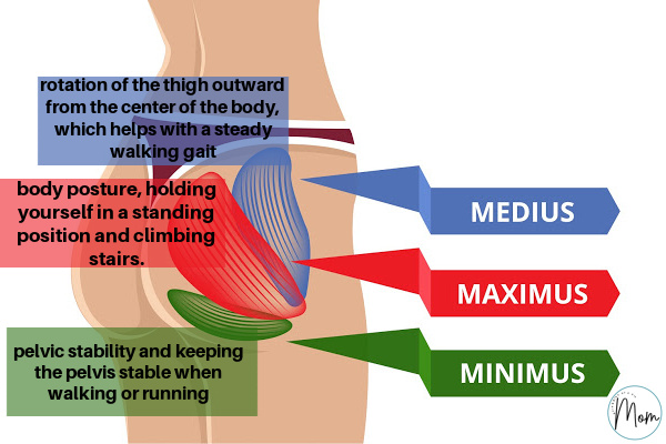 image of glute muscles and how they all work in the body.